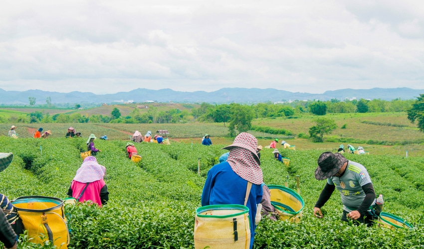 green tea farm worker going to harvest the organic green tea farm