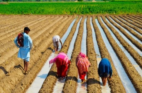 Punjab farmers are missing migrant workers for paddy sowing