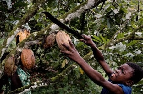Cocoa industry and child labour – the never ending problem