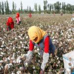 chinese cotton