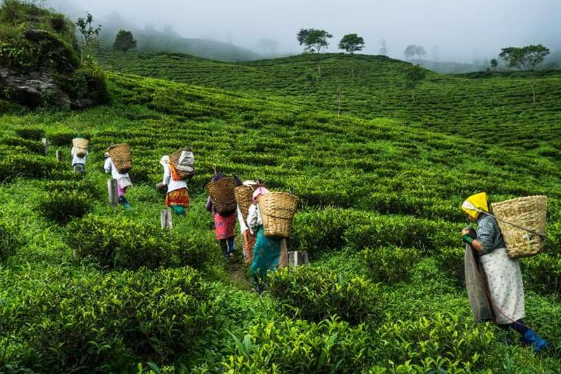 tea_workers_in_india_can't_withstand_poverty_in_pandemic